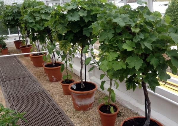 Nho lùn pháp có thể trồng trong chậu để tại cây cảnh bonsai