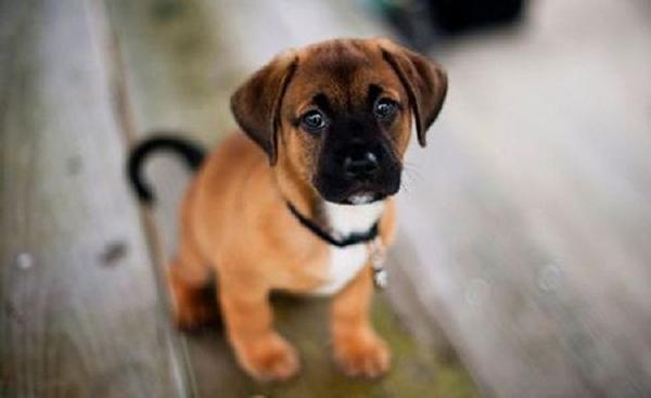 Chó vào nhà mang nhiều may mắn, tài lộc cho gia chủ