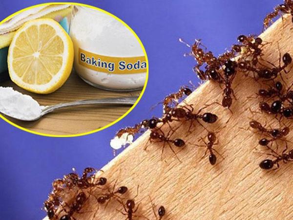 Chanh có tác dụng diệt kiến lửa hiệu quả