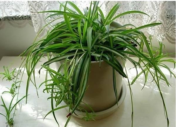 Cây điếu lan còn gọi là dây nhện, lan mốc hoặc cỏ mệnh môn. Loài thực vật này có tác dụng làm sạch không khí, lọc bụi, hút chất độc.