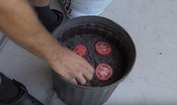 Cứ cắt cà chua thành từng lát rồi bỏ vào chậu, chẳng mấy chốc có cả vườn ăn quanh năm không hết - Ảnh 2