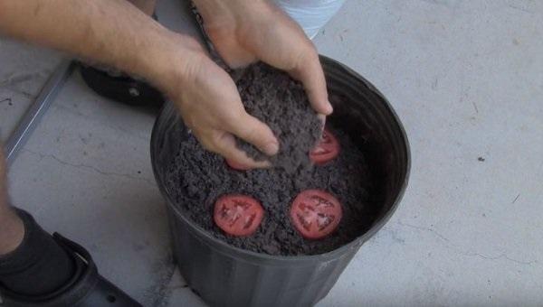 Cứ cắt cà chua thành từng lát rồi bỏ vào chậu, chẳng mấy chốc có cả vườn ăn quanh năm không hết - Ảnh 3