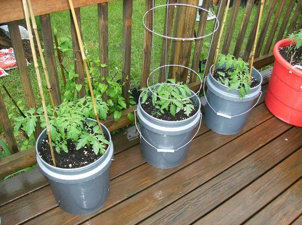Cứ cắt cà chua thành từng lát rồi bỏ vào chậu, chẳng mấy chốc có cả vườn ăn quanh năm không hết - Ảnh 4