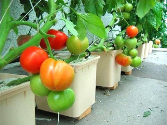 Cứ cắt cà chua thành từng lát rồi bỏ vào chậu, chẳng mấy chốc có cả vườn ăn quanh năm không hết - Ảnh 5