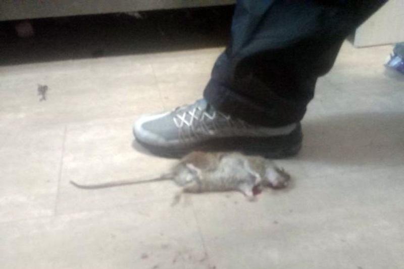 Hàng trăm con chuột khổng lồ xuất hiện trong nhà, khiến cả gia đình phải di chuyển nơi ở - Ảnh 2
