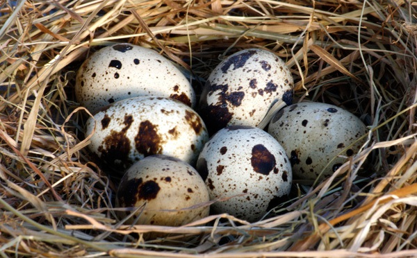 Những lợi ích tuyệt vời của trứng cút: Gia đình có con nhỏ nên ăn thường xuyên - Ảnh 1
