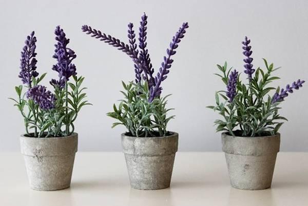 Được biết đến như một loài hoa mang lại may mắn trong ngày đầu năm. Mùi hương dễ chịu của loài hoa oải hương mang lại cho gia chủ sự thư thái, cảm giác bình yên trong nội tâm giúp bạn ngủ ngon hơn, khi tinh thần thư thái, bạn sẽ thấy được nhiều điều tốt đẹp. Ảnh: Internet