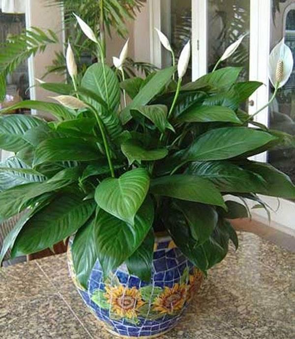 """Cây lan Ý tại Việt Nam còn được gọi là cây bạch môn, huệ hòa bình hoặc vĩ hoa trắng. Loài cây này còn có ý nghĩa tượng trưng cho """"niềm hạnh phúc của phụ nữ"""", tức là nếu bạn trồng loại cây này thì hạnh phúc và tình yêu sẽ tràn ngập khắp căn nhà đấy. Ảnh minh hoạ: Internet"""
