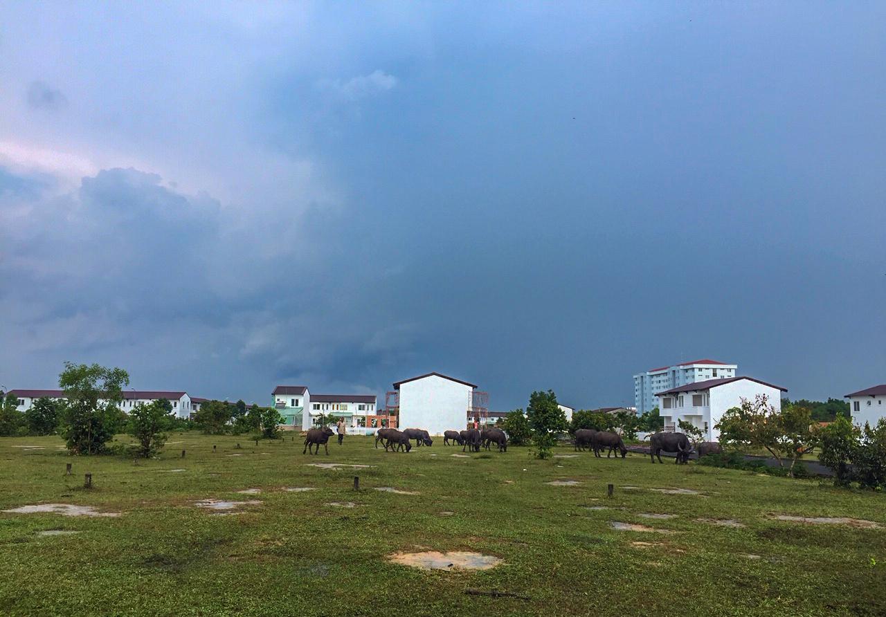 Người dân địa phương chăn thả trâu bò cạnh các căn hộ trong dự án Thang Long Home - Phước An. Ảnh: V.D