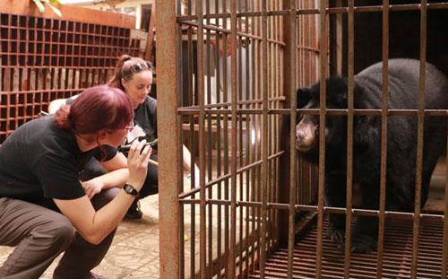 Gấu ngựa nuôi nhốt 15 năm ở Lào Cai được giải cứu khẩn cấp - Ảnh 2