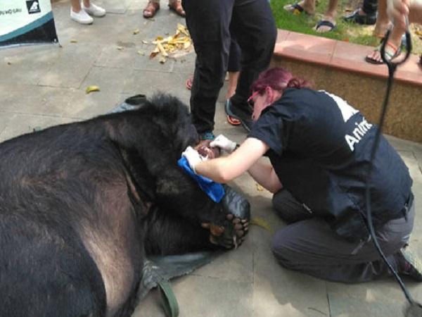 Gấu ngựa nuôi nhốt 15 năm ở Lào Cai được giải cứu khẩn cấp - Ảnh 1
