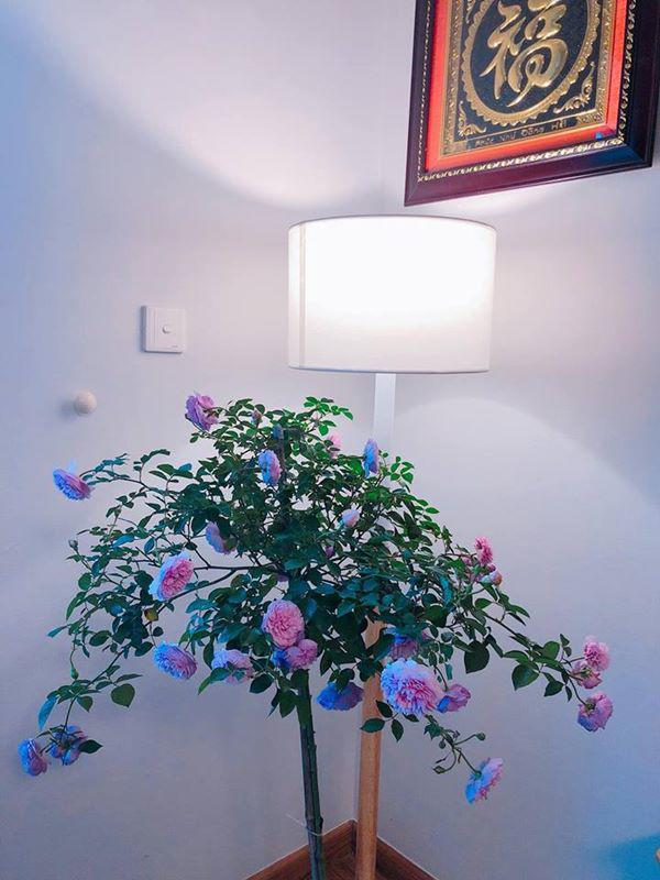 Chị Trang không ngại mang hẳn một cây hoa hồng vào trong nhà.