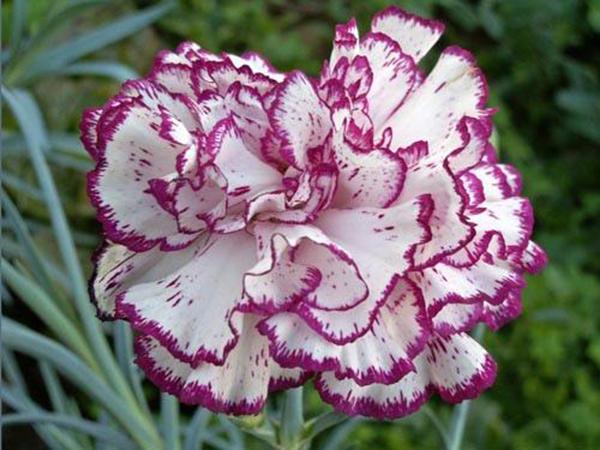 Câu chuyện hoa Cẩm Chướng và bài học về chữ hiếu - Ảnh 1