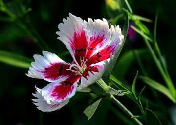 Câu chuyện hoa Cẩm Chướng và bài học về chữ hiếu - Ảnh 2