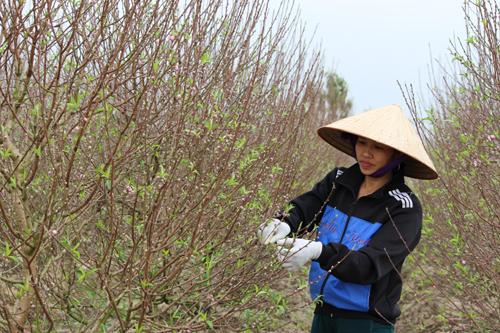 Tuốt lá đào gần Tết để cây ra hoa đúng thời điểm