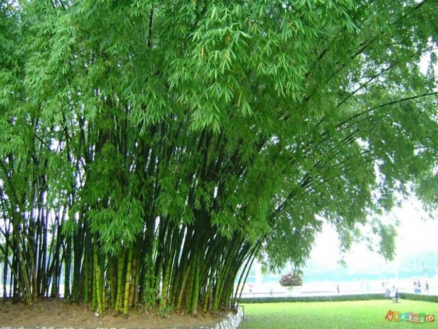 Bài học thành công từ cuộc đời của cây tre - Ảnh 1