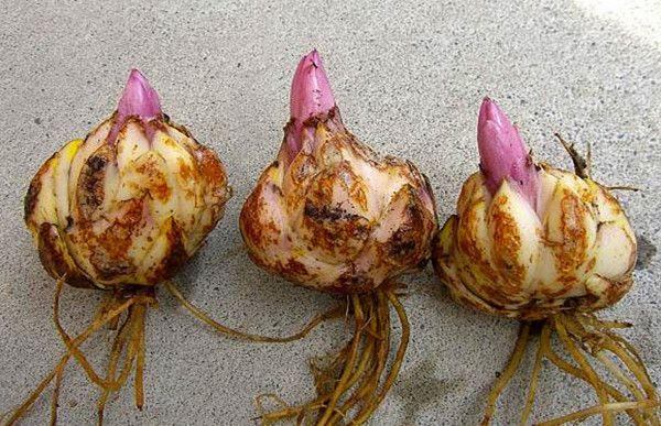 Củ giống cây hoa ly được xử lý phòng trừ bệnh và phá trạng thái ngủ đông