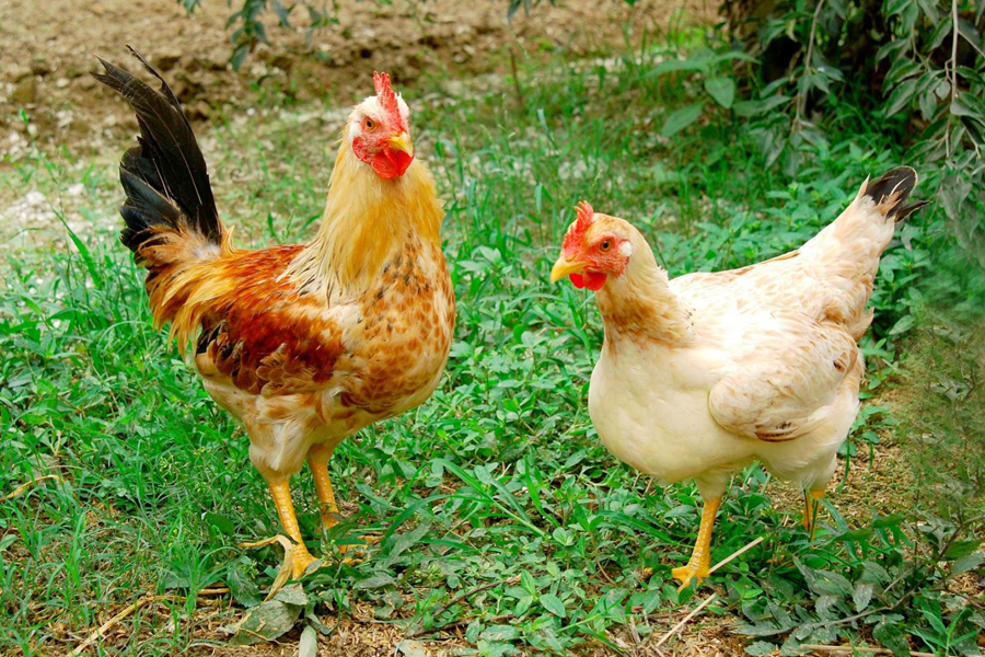 Nếu có thời gian, nên chọn mua gà sống rồi mới làm thì thịt sẽ tươi, thơm mà không sợ mua phải gà bị bệnh hay bị nhuộm da