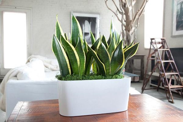 Những loại cây trồng trong nhà vừa lọc sạch không khí, vừa mang tài lộc cho chủ - Ảnh 5