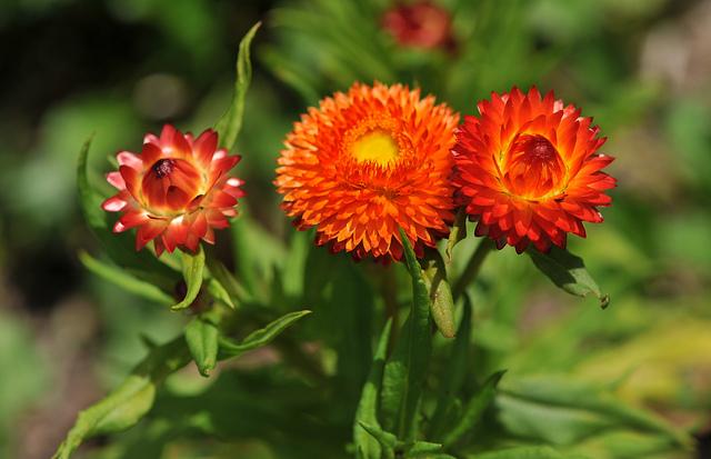 Bó hoa bất tử tặng thầy cô để tỏ lòng biết ơn vô bờ bến