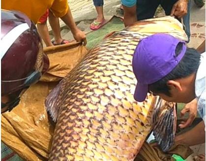 Vụ đưa cá hô lên TP.HCM xẻ thịt: Có thể bị phạt 1 tỷ đồng - Ảnh 1