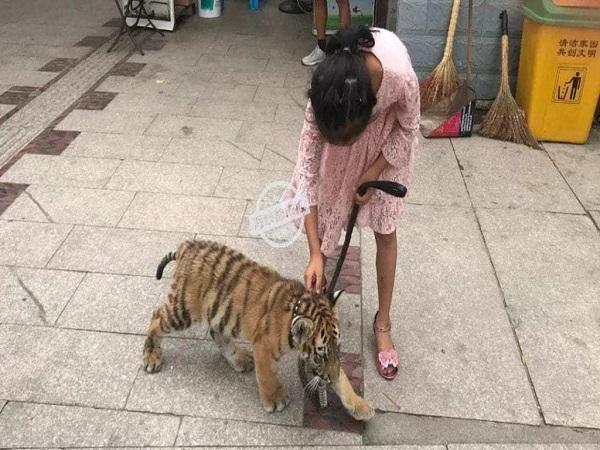 Cô bé dắt chú hổ đi dạo như thú cưng