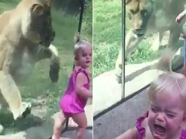 Bé gái khóc ngất khi con sư tử lao về phía mình