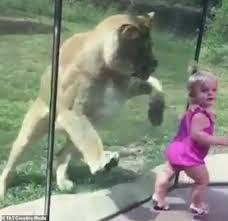 Con sư tử sử dụng chiến thuật như rình, bắt con mồi ở ngoài tự nhiên