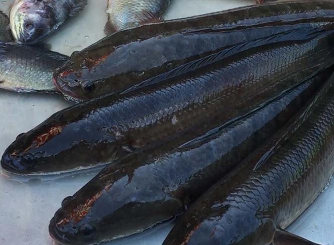 Cá lóc - Thức ăn dưỡng sinh trong mùa nóng - Ảnh 1