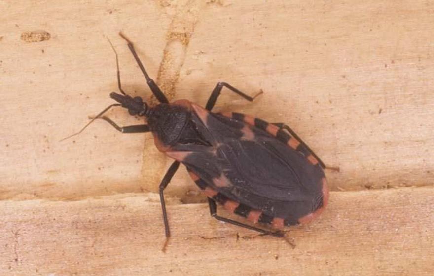 Thấy con bọ này trong nhà phải tới bệnh viện ngay lập tức bởi nó có thể khiến bạn đau đớn hơn cả chết - Ảnh 1