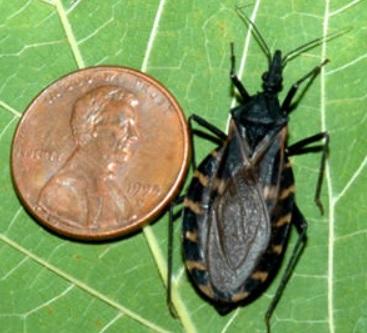 Thấy con bọ này trong nhà phải tới bệnh viện ngay lập tức bởi nó có thể khiến bạn đau đớn hơn cả chết - Ảnh 2