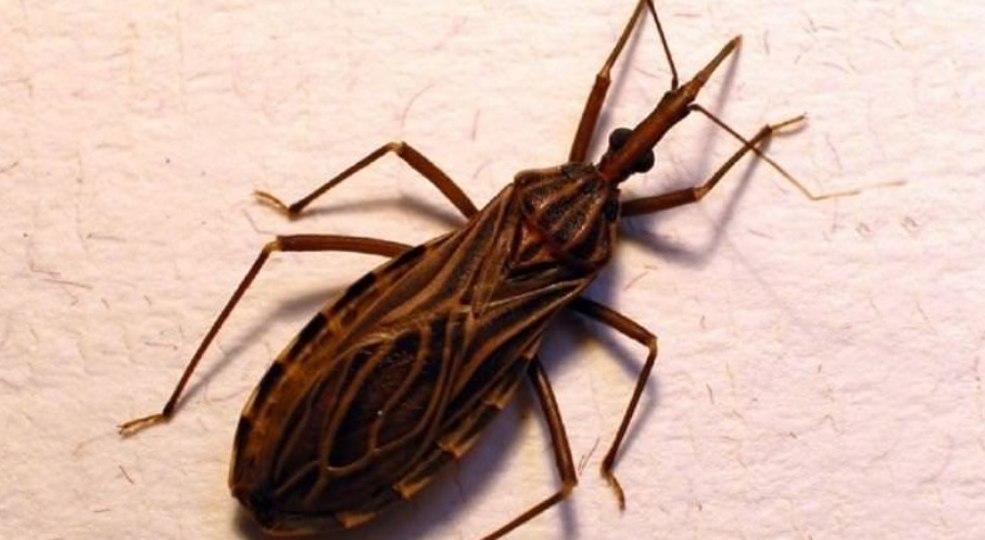 Thấy con bọ này trong nhà phải tới bệnh viện ngay lập tức bởi nó có thể khiến bạn đau đớn hơn cả chết - Ảnh 5