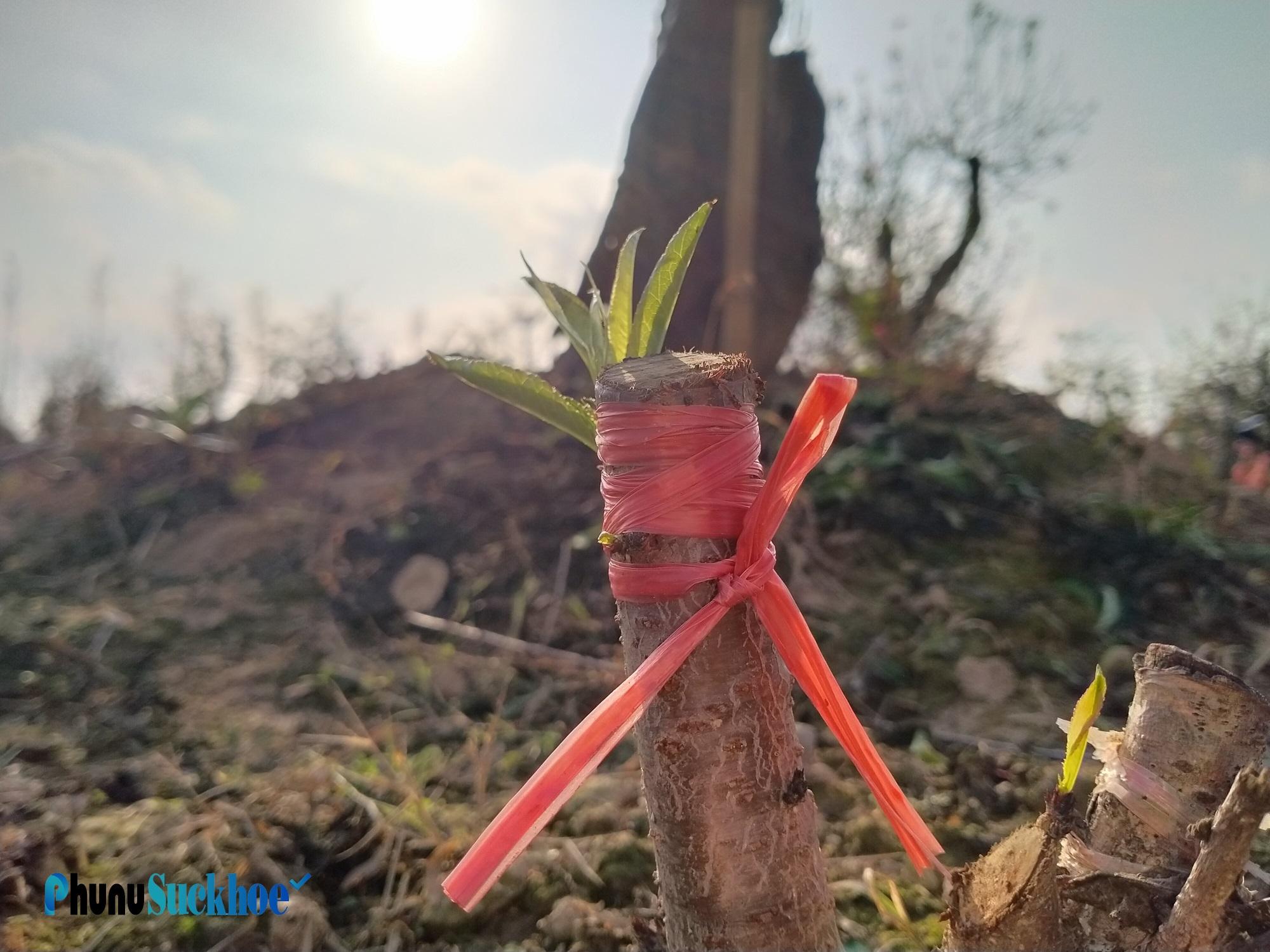 """Chùm ảnh: Hoa đào nở sớm rực rỡ, người trồng đào thấp thỏm lo """"mất Tết"""" - Ảnh 10"""
