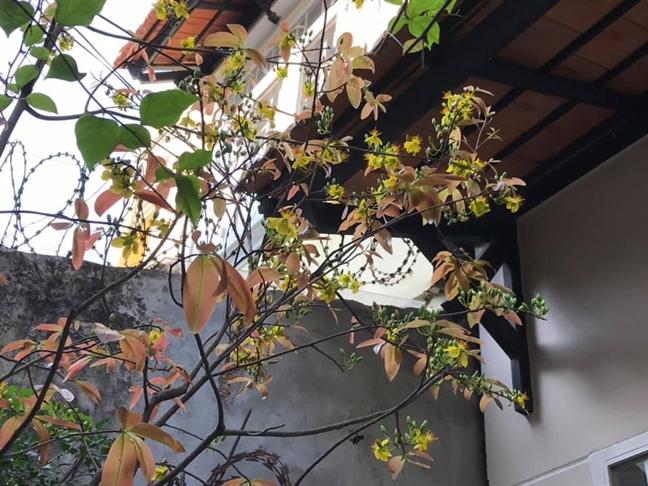 Hoa mai giúp tăng sinh khí mùa xuân cho ngôi nhà