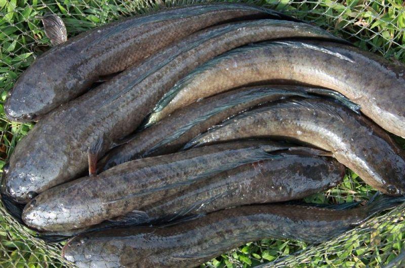 Học ngay cách nấu cháo cá lóccho trẻ ăn dặm, xóa tan nỗi lo còi xương, suy dinh dưỡng - Ảnh 1