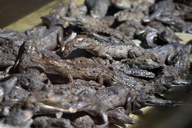 Tỷ phú Philippines tạo dựng đế chế kinh doanh cá sấu như thế nào - Ảnh 2