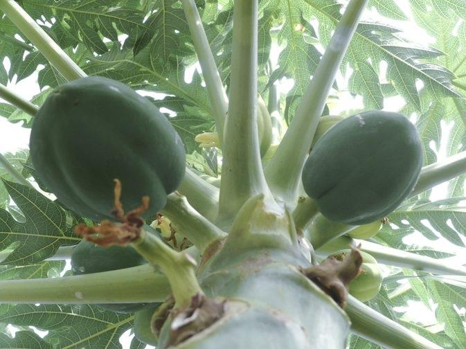 Dùng lá đu đủ chữa đau dạ dày sẽ cải thiện tiêu hóa, giảm ợ chua, nóng, kích thích dạ dày