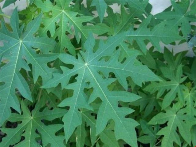 Tốt nhất không nên áp dụng cách dùng lá đu đủ xào tỏi trị sỏi thận, nhiều biến chứng không ngờ