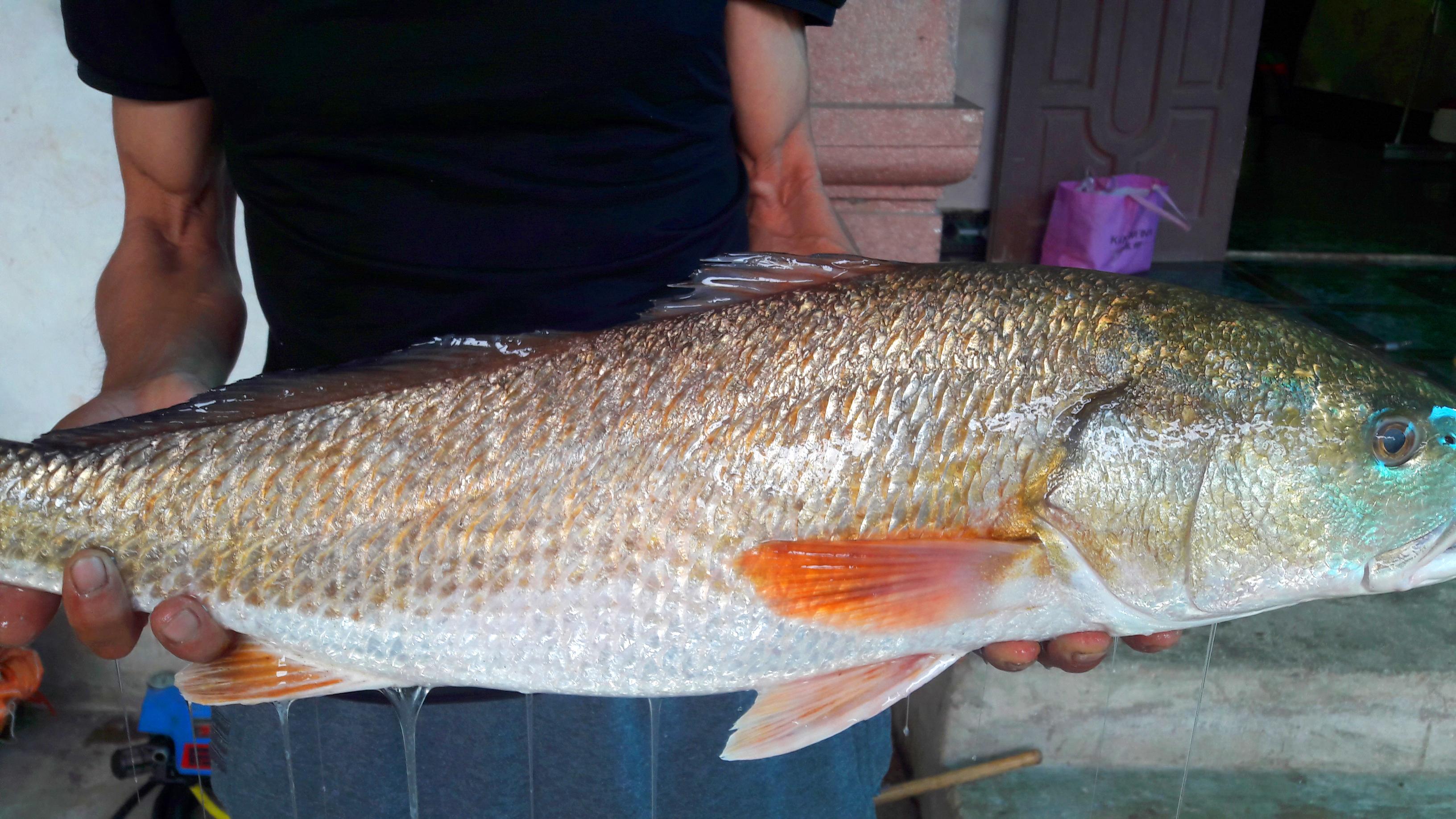 Cá vàng óng nặng 5kg, nghi cá sủ vàng tiền tỷ mắc câu thợ câu xứ Nghệ - Ảnh 2