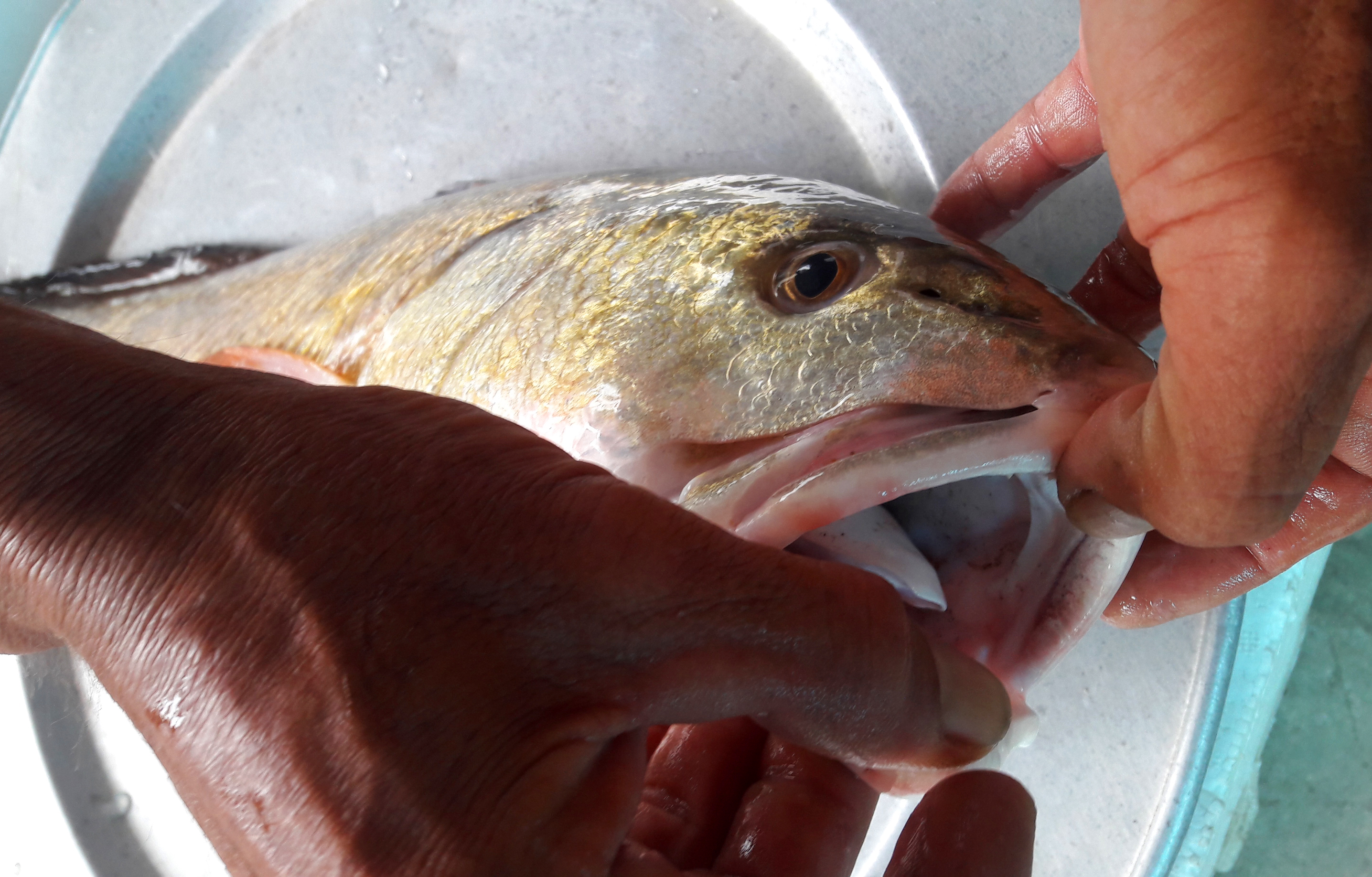 Cá vàng óng nặng 5kg, nghi cá sủ vàng tiền tỷ mắc câu thợ câu xứ Nghệ - Ảnh 3