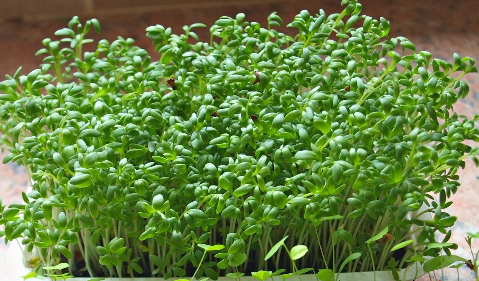 Cách trồng rau mầm nhanh mọc tại nhà cho bạn có vườn sau sạch ăn vào dịp Tết - Ảnh 1