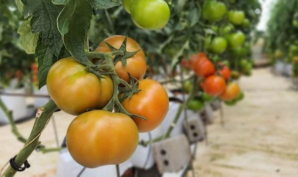 Cà chua đang rẻ, ăn bổ nhưng cần lưu ý 5 KHÔNG khi ăn, điều số 1 nhiều người mắc - Ảnh 4