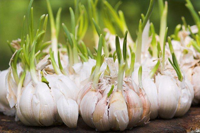 Thấy 3 thực phẩm này mọc mầm thì đừng dại vứt đi, vì rất tốt cho sức khỏe - Ảnh 2