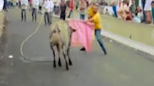 Thót tim cảnh ông bố bế con nhỏ liều lĩnh dụ bò tót hung dữ chạy về phía mình - Ảnh 2