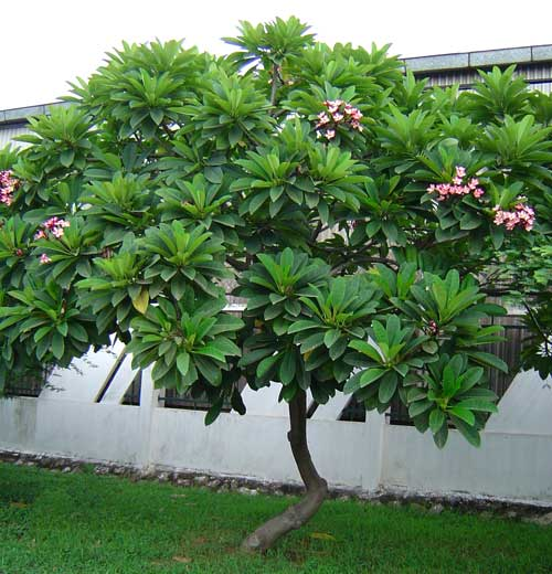 Dùng thân cây sứ cùi giúp giảm sưng và loại bỏ độc do ong vò vẽ đốt