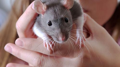 Bé gái Mỹ bị nhiễm khuẩn từ chuột cảnh - Ảnh 1