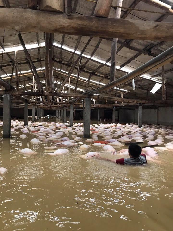 Người chủ trang trại có 6.000 con lợn chết trong nước lũ: 'Chúng tôi bất lực nhìn bầy lợn bơi rồi đuối dần, chỉ cứu được 200 con...' - Ảnh 1