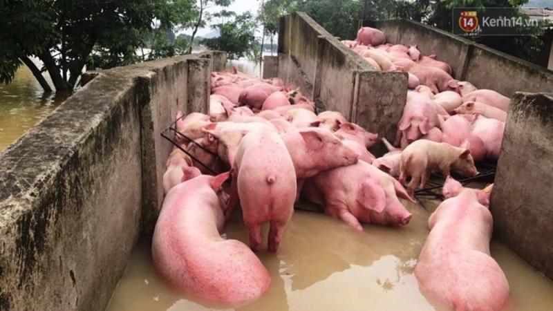 Người chủ trang trại có 6.000 con lợn chết trong nước lũ: 'Chúng tôi bất lực nhìn bầy lợn bơi rồi đuối dần, chỉ cứu được 200 con...' - Ảnh 2