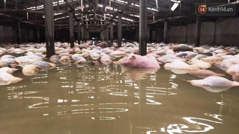 Người chủ trang trại có 6.000 con lợn chết trong nước lũ: 'Chúng tôi bất lực nhìn bầy lợn bơi rồi đuối dần, chỉ cứu được 200 con...' - Ảnh 3