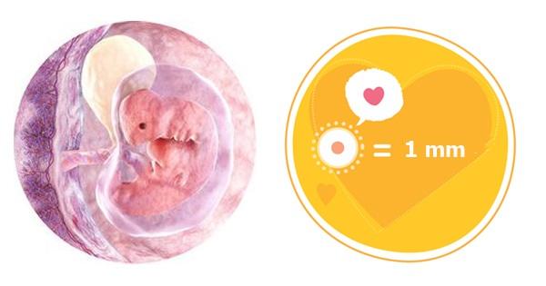 Quá trình phát triển của thai nhi qua từng mốc quan trọng - Ảnh 2